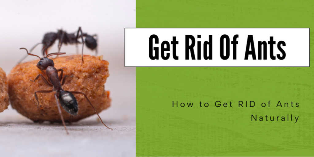 ants on top of a crumb of food with text that reads how to get rid of ants